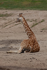 giraffe chilling by pinguino, on Flickr