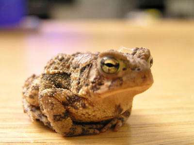Wart Toad