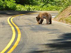 Bear Road Kill by PunkToad, on Flickr