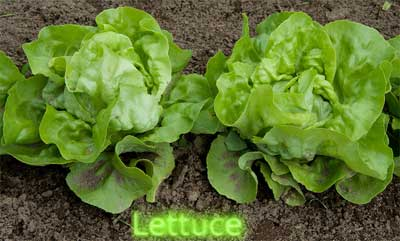 New Farming Robot Cuts Lettuce With Water