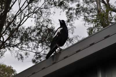 Birds of Ill Omen and Superstition