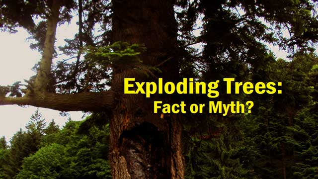 Exploding Trees: Fact or Myth?